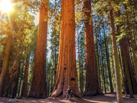 15 ky quan thien nhien tuyet tac o My hinh anh 3 California: Những cây tùng bách và củ tùng khổng lồ của California đã hàng trăm năm tuổi và cao tới hơn 90 m. Du khách có thể tới tham quan các cây này ở Công viên quốc gia Sequoia nổi tiếng.