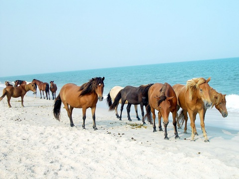15 ky quan thien nhien tuyet tac o My hinh anh 8 Maryland: Hòn đảo này nổi tiếng với những chú ngựa hoang. Tương truyền, chúng tới đây từ một vụ đắm tàu gần đảo và phát triển mạnh dù trên đảo khá hoang vu, khô cằn.