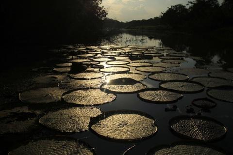 """Cuoc song chat vat cua con nguoi trong rung Amazon hinh anh 2 Lượng thực vật phong phú của Amazon tạo ra 20% oxy cho thế giới, khiến khu rừng này có tên """"lá phổi của trái đất""""."""