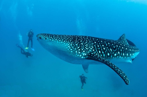 10 diem du lich noi danh o que huong tan Hoa hau Hoan vu hinh anh 10 Donsol: Nằm ở tỉnh Sorsogon, nơi có các bãi biển hoang sơ, thác nước hùng vĩ và hang động chưa được khám phá, làng chài Donsol là điểm đến tuyệt vời để ngắm cá mập voi. Những con vật khổng lồ hiền hòa này xuất hiện từ tháng 11 năm trước tới tháng 6 năm sau. Du khách có thể đi thuyền dọc sông Donsol qua các rừng đước, ngắm hàng triệu con đom đóm bừng sáng trong đêm, đi bắt tôm kiểu truyền thống và thưởng thức hải sản tươi ngon. Ảnh: Thecoraltriangle.