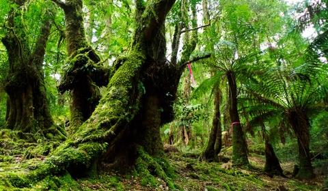 Nhung khu rung co xua nhat trai dat hinh anh 1 Rừng Tarkine, Australia: Nằm trên đảo Tasmania biệt lập, rừng Tarkine đã bén rễ trên trái đất từ cách đây 300 triệu năm. Đây là dải rừng ôn đới lớn thứ hai trên thế giới và là nơi có những cây thông Huon 3.000 tuổi. Ngoài ra, rừng còn có nhiều khung cảnh tuyệt đẹp, những thân cây rậm rạp bao phủ các ngọn đồi, thác nước và khe núi hùng vĩ. Du khách có thể đăng ký các chuyến đi tới những khu vực đẹp nhất của rừng. Ảnh: Australiantraveller.
