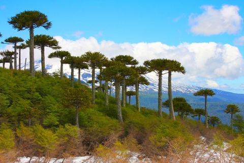 Nhung khu rung co xua nhat trai dat hinh anh 2 Rừng Aracuaria, Chile: Thông Aracuraria của Chile có thể sống tới 1.000 năm. Chúng đã tiến hóa và duy trì hình dạng như một cây chổi ngược để chống lại các loài khủng long ăn lá từ 180 triệu năm trước, khi khu rừng mới hình thành. Bạn có thể ghé thăm công viên quốc gia Conguillio và Tolhuacaca, nơi có những khoảng rừng thông tuyệt đẹp giữa núi non hùng vĩ. Ảnh: Ophir Michaeli.