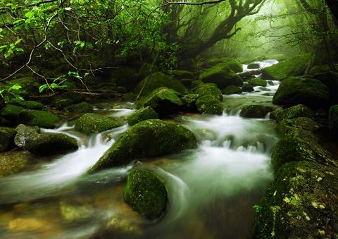 Nhung khu rung co xua nhat trai dat hinh anh 3 Rừng Yakushima, Nhật Bản: Khu rừng này tồn tại hơn 7000 này đẹp tới mức một phần đã được hoàng gia Nhật cải tạo thành vườn vào thế kỷ 17. Những thân cây mang dáng vẻ cổ xưa, cành đan cài trên những tảng đá phủ rêu tạo cho du khách cảm giác như lạc vào một câu chuyện cổ tích. Ảnh: 37framesphotographyblog.