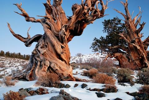 """Nhung khu rung co xua nhat trai dat hinh anh 4 Rừng thông cổ Bristlecone, California, Mỹ: Những cây thông Bristlecone nhìn như cảnh trong phim """"Chúa nhẫn"""" hơn là đời thực. Trong số đó, cây thông có tên Methuselah đã hơn 4.800 năm tuổi. Vị trí của cây được giữ bí mật để đảm bảo an toàn. Tuy nhiên, du khách có thể chiêm ngưỡng họ hàng của Methuselah ở rừng quốc gia Inyo."""