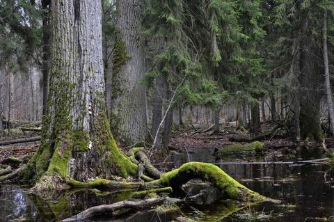 Nhung khu rung co xua nhat trai dat hinh anh 6 Rừng Bialowieza, Ba Lan và Belarus: Bialowiza là khoảng cuối cùng của rừng cổ trên lục địa này. Hơn 1.400 km2 được phủ kín với những cây vân sam Na Uy, thích, bạch dương, sồi và thông. Khu rừng này đã tồn tại hơn 7.000 năm. Ảnh: Prezi.