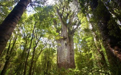 Nhung khu rung co xua nhat trai dat hinh anh 8 Rừng Waipoua, New Zealand: Khoảng rừng nằm trên đảo Bắc của New Zeland phát triển mà không có sự can thiệp của con người cho tới tận khi người Maori xuất hiện vào thế kỷ 12. Những cây Kauri hơn 2.000 năm tuổi này là dấu vết cuối cùng của khu rừng thời còn nguyên sơ. Ngoài tham quan rừng, du khách có thể đăng ký tour ngắm đom đóm ở các hang động trên sông Waipuoa. Ảnh: Roughguides.