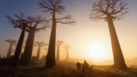 Nhung khu rung co xua nhat trai dat hinh anh 9 Rừng Baobab, Madagascar và Nam Phi: Xuất hiện ở đây từ thời con người chưa thành hình, những cây Baobab là biểu tượng của châu Phi. Không ai biết chắc chắn chúng đã bao nhiêu tuổi (vì thân không có vòng gỗ). Theo phương pháp carbon, những cây Baobab này dao động từ 1.000 tới 6.000 năm tuổi. Để bảo vệ chúng, chính phủ các nước đã lập ra các khu bảo tồn nhằm thu lợi từ du lịch sinh thái hơn là chặt bỏ cây.