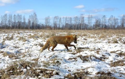 Vuong quoc dong vat hoang da o vung phong xa Chernobyl hinh anh 14