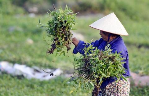 Rau muong tu nghia dia toi cho hinh anh 8 Vào mỗi buổi sáng, người dân lại hái rau đem ra chợ bán.