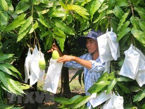 Xoài Việt Nam chính thức được xuất khẩu sang thị trường Mỹ