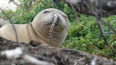 Bí ẩn hàng loạt hải cẩu thầy tu Hawaii bị mắc lươn biển vào mũi
