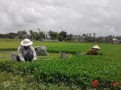 Binh Dinh: Nong dan cat rau ma cho bo an vi ky nghi Tet hinh anh