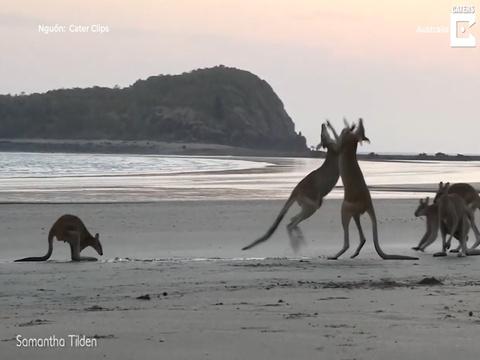 Kangaroo danh nhau tren bo bien Australia hinh anh