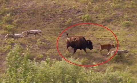 Bo bison don doc chien dau voi dan cho soi de bao ve con hinh anh