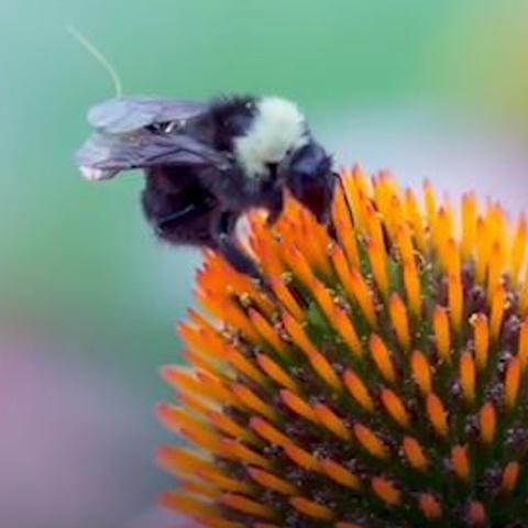 Nhung con ong duoc mang balo ti hon, thay the thiet bi drone hinh anh