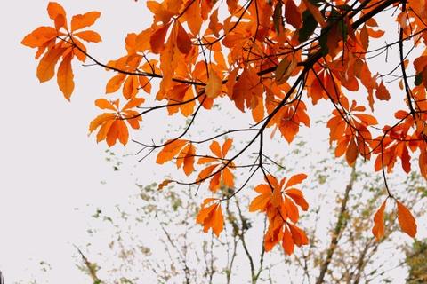 Hà Nội mùa lá vàng khắp phố, không thiếu góc sống ảo tựa xứ kim chi