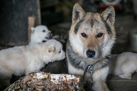 Chợ thịt chó nổi tiếng Hàn Quốc chính thức đóng cửa