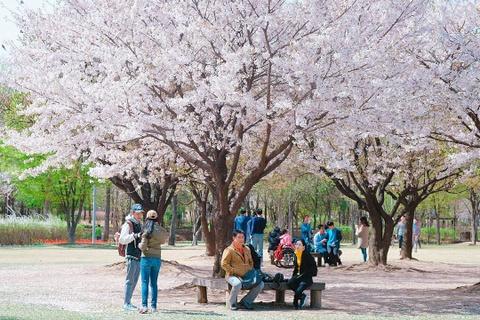 Du lịch nước nào ở châu Á để ngắm hoa anh đào?