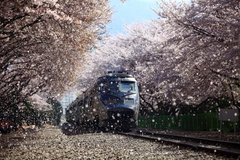 Ngắm hoa anh đào đẹp như cổ tích tại Hàn Quốc vào mùa xuân