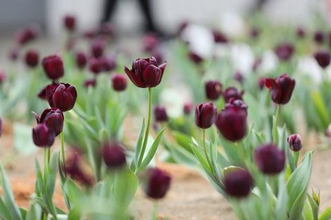 Ngam hoa dao, tulip den no ro o Sa Pa hinh anh 7