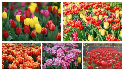 Xu so dieu ky cua trieu doa hoa tulip hinh anh 5