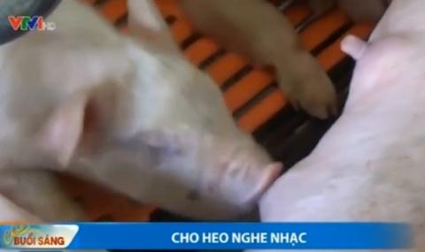 VTV: Cho lon nghe nhac de tang nang suat hinh anh