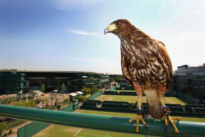 Dieu hau Rufus: Ve binh bau troi tai Wimbledon hinh anh