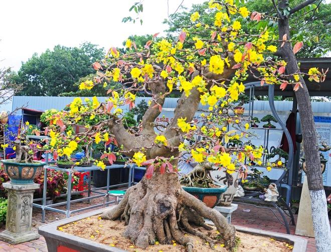 Gian hang mai bonsai co thu tai cho hoa Tet Binh Dinh hinh anh
