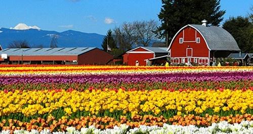 8 le hoi hoa tuyet dep tren the gioi hinh anh 1 Lễ hội hoa Skagit Valley Tulip: Lễ hội hoa tulip ở thung lũng Skagit, Washington, diễn ra vào tháng 4 hằng năm từ năm 1984. Khách du lịch đổ về đây để chiêm ngưỡng vẻ đẹp hút tầm mắt của những cánh đồng hoa tulip và tìm hiểu thêm nền nông nghiệp địa phương.