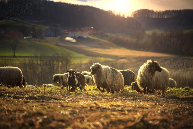 Canh sac nhu tranh ve o Bosnia va Herzegovina hinh anh 3 Những chú cừu nô đùa trên đồng cỏ.
