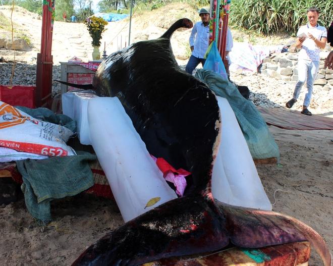 Ca 'Ong Chuong' hon 700 kg dat vao bo bien Quang Ngai hinh anh 2