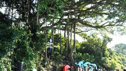 Cay da 800 tuoi co chu vi than 85 met hinh anh 1 Cây đa 800 năm tuổi trên núi Sơn Trà chính thức trở thành Cây Di sản Việt Nam.