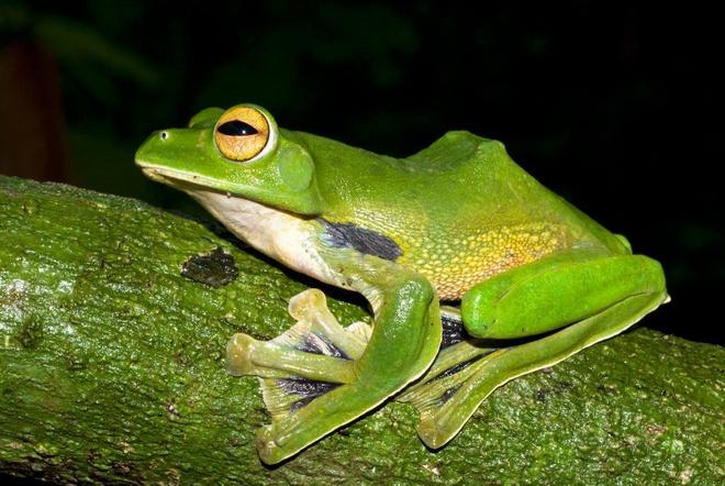 ếch xanh biết bay được phát hiện cách thành phố HCM chưa tới 100 km