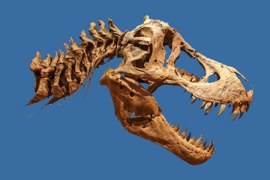 Hộp sọ T-Rex. Ảnh: Sciencedaily.