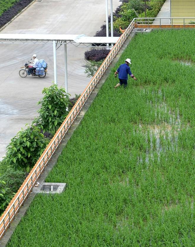 Ruong rau tren mai nha hinh anh 2 Khu vườn là giải pháp