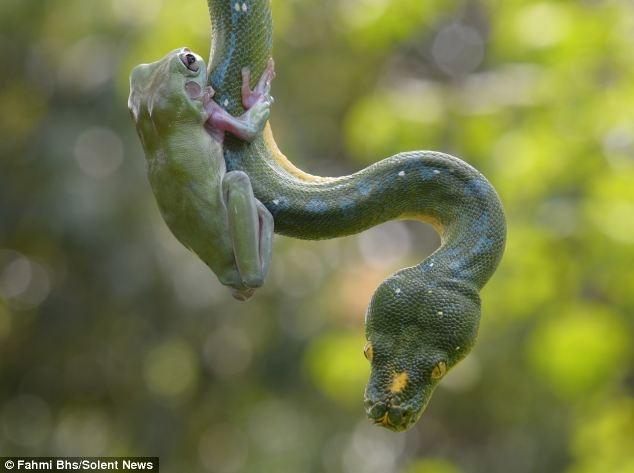 Ech tung hoanh tren co the ran hinh anh 2 Trong khi cơ thể con rắn uốn lượn xung quanh các cành của một cây dừa, chú ếch xinh xắn lặng lẽ bám trên da của nó.