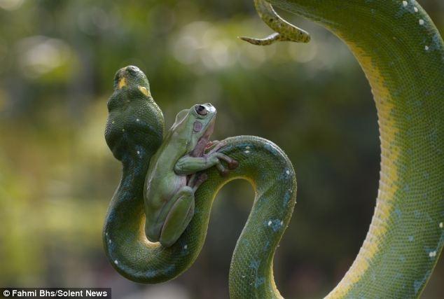 """Ech tung hoanh tren co the ran hinh anh 3 """"Tôi đã lo rằng con trăn sẽ nuốt chửng chú ếch xinh đẹp. Nhưng nhân viên vườn thú nói,  động vật bò sát đặc biệt này không ăn thịt con ếch và cuộc sống của nó cũng chẳng xáo trộn bởi sự hiện diện của ếch"""", một du khách 39 tuổi, nói."""