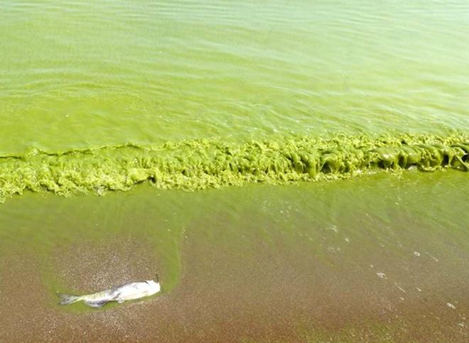 Nhung canh bao dang so ve bien doi khi hau (ky 2) hinh anh 2 Hiện tượng tảo biển độc nở rộ trong hồ Erie ở Bắc Mỹ, khiến 5.000 người không có nước uống. Không phải tất cả các loại tảo đều có tính hủy diệt, nhưng loài tảo nở rộ trên hồ chủ yếu là microcystis aeruginosa, rất độc đối với những loài động vật. Microcystis aeruginosa xuất ra độc tố có màu nâu sậm gọi là microcystin, có khả năng giết chết một con chó đang bơi trong vùng nước nhiễm độc tố này và cũng như gây kích ứng da, khó khăn về hô hấp và tiêu hóa ở người.