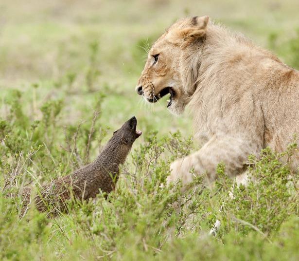 Ho mang bach tang lot top anh dong vat an tuong nhat tuan hinh anh 4 Nhiếp ảnh gia Jerome Guillaumot ghi lại cảnh một con cầy mangut nhỏ bé uy hiếp và tấn công sư tử tại Công viên Quốc gia Masaa Mara, Kenya. Con cầy gầm gừ, thậm chí hất mặt nhìn sư tử với vẻ thách thức. Ảnh: Barcroft
