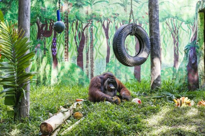 Ho mang bach tang lot top anh dong vat an tuong nhat tuan hinh anh 5 Jacky, một con đười ươi tại vườn thú Bali, Indonesia, kỷ niệm ngày sinh nhật lần thứ 37 bằng một bữa tiệc trái cây. Nó đã sống tại vườn thú trong 11 năm. Ảnh: EPA