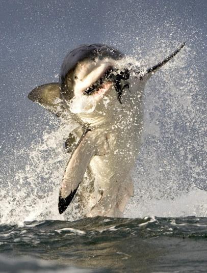 Ho mang bach tang lot top anh dong vat an tuong nhat tuan hinh anh 6 Nhiếp ảnh gia Chris Fallows đã 'chộp' khoảnh khắc con cá mập trắng với thân hình to lớn lao lên không trung để đớp con hải cẩu giả tại đảo Hải cẩu, vịnh False, Nam Phi. Ảnh: SeaPics