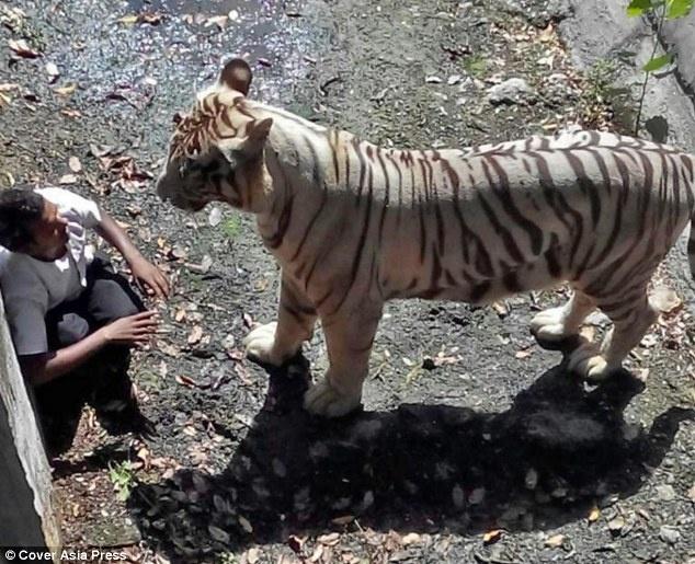 Ho giet nguoi say ruou trong vuon thu hinh anh 1 Nam thanh niên Maqsood, 22 tuổi, được cho là đã uống rượu trước khi nhảy vào chuồng hổ trắng tại vườn thú New Delhi, Ấn Độ, hôm 23/9. Các nhân chứng cho hay  nạn nhân đã nhảy vào chuồng hổ bất chấp những lời cảnh báo của nhân viên an ninh trong vườn thú.
