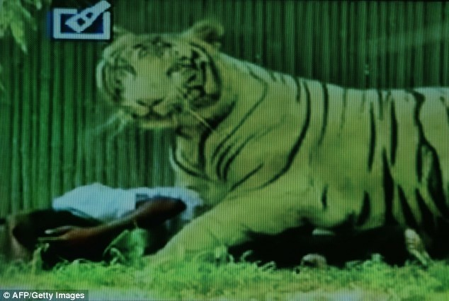 Ho giet nguoi say ruou trong vuon thu hinh anh 3 Mặc dù mọi người đã dùng gậy và đá ném vào con vật để cứu nam thanh niên nhưng vô ích. Con hổ vẫn điên cuồng cấu xé nạn nhân.