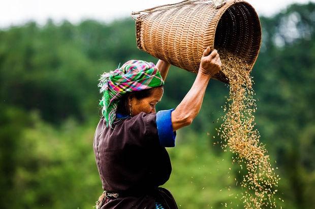 Anh chan dung nguoi Viet an tuong tren bao nuoc ngoai hinh anh 9 Một phụ nữ Hmong làm việc trong mùa thu hoạch lúa ở Mù Cang Chải. Ảnh: GEO.fr