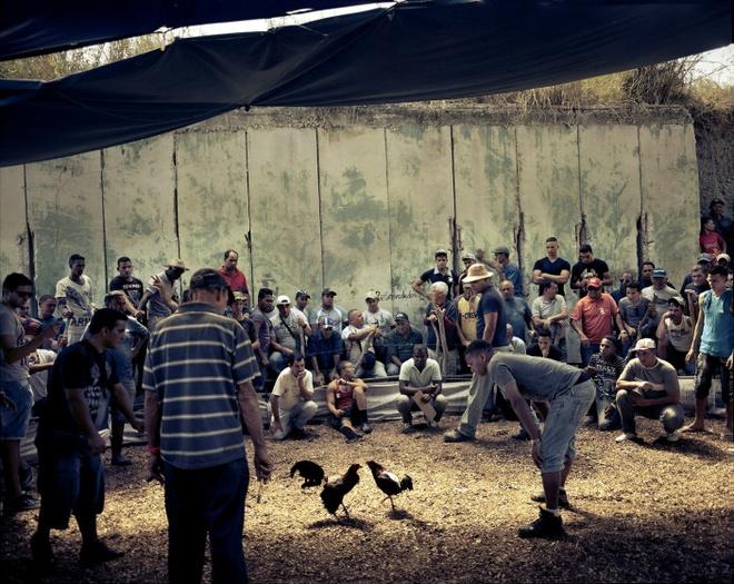 Cuoc song doi thuong o Cuba khi bi My cam van hinh anh 4 Người dân theo dõi đá gà, một trò chơi dân gian của Cuba. Tổ chức đá gà không phải là điều cấm, nhưng cá cược là hành vi bất hợp pháp.