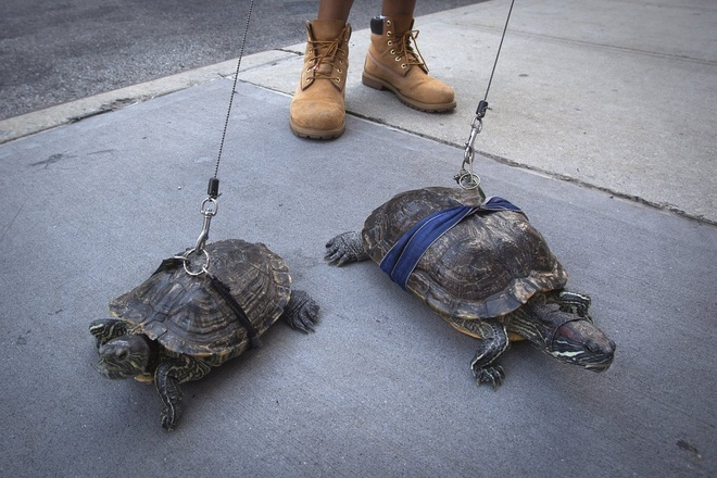 Nguoi Viet cho do cong kenh vao top anh ky thu nhat nam 2014 hinh anh 12 Anh Chris Roland dẫn các chú rùa Kuka và Cindy đi dạo ở đường phố New York hôm 4/8. Roland cho biết anh đã nuôi những con rùa nhiều năm và mỗi ngày đều dẫn chúng dạo phố. Ảnh: Reuters