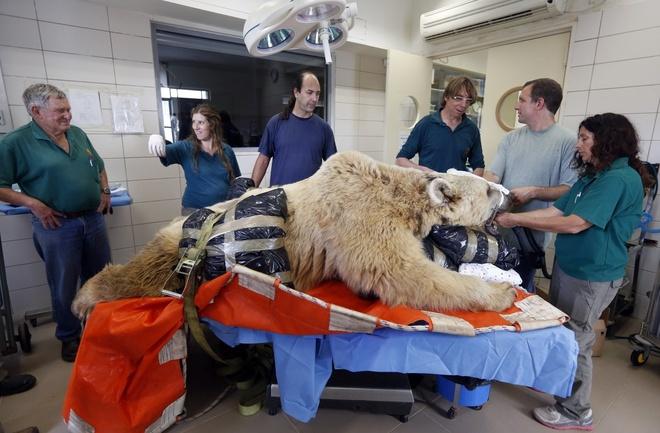 Nguoi Viet cho do cong kenh vao top anh ky thu nhat nam 2014 hinh anh 5 Bác sỹ thú y ở Tel Aviv, Israel, chuẩn bị phẫu thuật cho một chú gấu 19 tuổi hồi tháng 5/2014. Chú gấu bị thoát vị đĩa đệm và phải trải qua cuộc phẫu thuật xương sống. Ảnh: Reuters