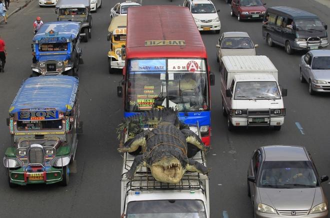 Nguoi Viet cho do cong kenh vao top anh ky thu nhat nam 2014 hinh anh 9 Một chiếc xe tải nhỏ chở mô hình cá sấu dài 6 mét đến công viên cá sấu ở thủ đô Manila, Philippines, vào tháng 7/2014. Nhà sản xuất chế tạo robot Longlong dựa trên hình mẫu con LoLong, con cá sấu nước mặn lớn nhất mà người dân Philippines từng bắt được. Ảnh: Reuters
