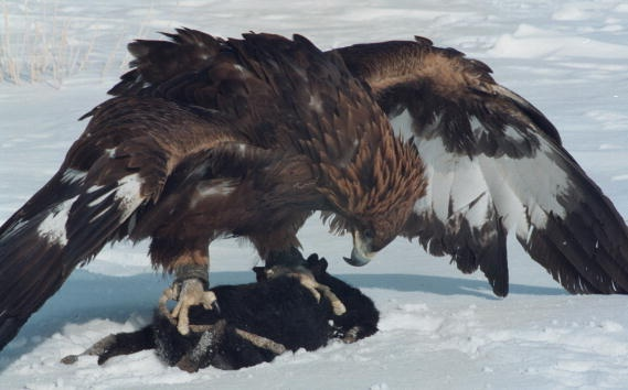 Mot ngay di san cung dai bang tren cao nguyen hinh anh 6 Đại bàng vàng là một trong những giống chim săn mồi lớn nhất thế giới, có thể tấn công con mồi lớn như chó sói, tốc độ bay khoảng 200km/giờ. Móng vuốt chắc khỏe và chiếc mỏ sắt nhọn chính là vũ khí lợi hại của đại bàng.