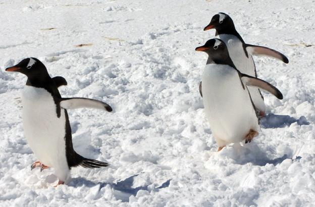 Cuoc song khac nghiet nhung thu vi tai Nam Cuc hinh anh 3 Vì khí hậu cực kỳ khắc nghiệt, không có các loài thực vật hay động vật sống thường xuyên tại Nam Cực. Loài chim phổ biến nhất trong vùng đất băng giá này là cánh cụt. Mỗi năm, chim cánh cụt cái chỉ đẻ một quả trứng và con đực đảm trách nhiệm vụ ấp trứng trong suốt 9 tuần mà không ăn uống gì. Ngoài chim cánh cụt, những loài khác như cá voi xanh hay hải cẩu voi cũng sinh sống tại đây. Ảnh: BBC